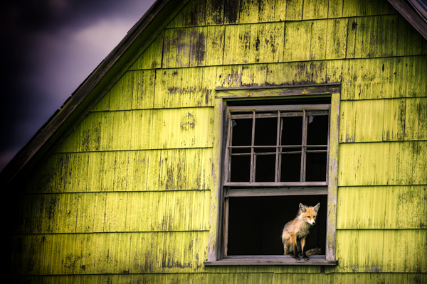 A cute red fox sits in the window of an abandoned home.